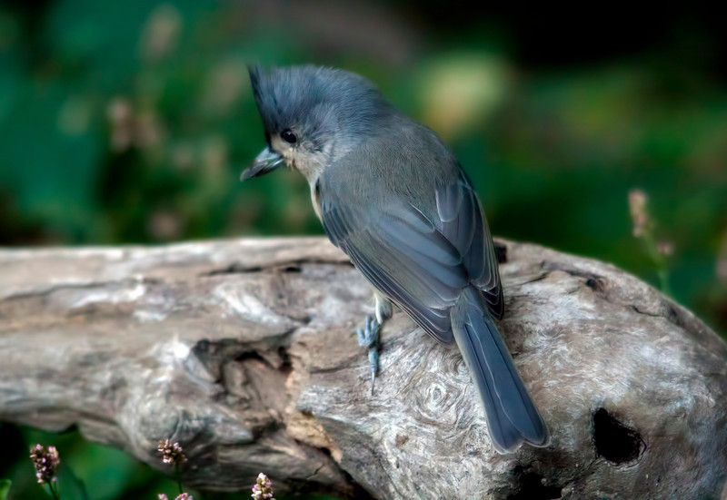 This is the mate to the little titmouse who was mauled by the cats last year. Glad to see it is doing okay and hopefully raised some young ones this summer. They sure go through the peanuts. 10.10.11