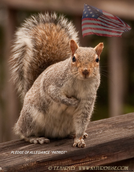 """What a patriotic critter....quite a change from his mood during the 2010 winter blizzard (as shown in  <a href=""""http://www.naturemuse.com/Other/Daily-Photos/8260596_yX94t#785999633_MKTuS"""">http://www.naturemuse.com/Other/Daily-Photos/8260596_yX94t#785999633_MKTuS</a> )."""