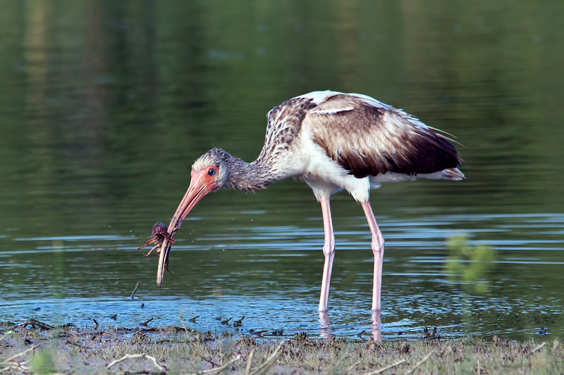 I think this is a juvenile ibis. Taken in deep south Texas, Weslaco I think.  I spent the whole month of April in South Texas and got some really good shots everywhere I went. 11.6.12