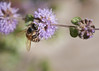 So many bees in my herb garden this year.<br /> August 1, 2010