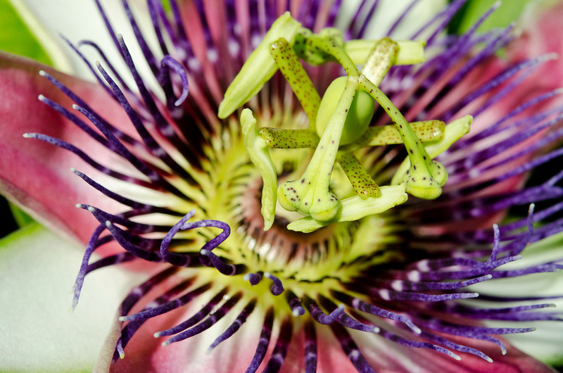 May 28, 2011<br /> Passion flower.<br /> Thank you for all the nice comments.