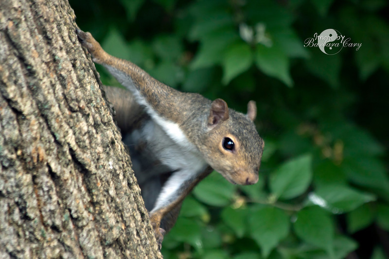 Quite a photogenic little fellow I would say. Very hungry too. The squirrels have just about taken over my bird feeders. Not sure what to do about it, but for now will take their photo and wait for a bird to show up. 5.13.11