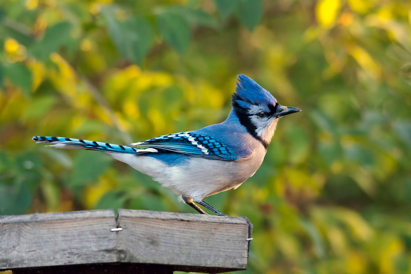 The young birds that hatched this past spring are now fully grown with all their feathers and are so beautiful like this young blue jay. This was taken very early. It is getting cooler and the birds are coming more often to the feeders. Winter is hard on them so I try to give them seeds and suet every day. 11.19.12