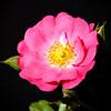 Carpet rose from my backyard.<br /> September 8, 2010