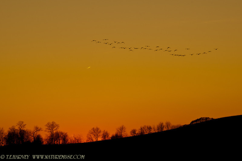 Dusk flight near Conowingo Dam.