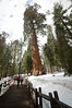 April 17, 2011<br /> Giant Sequoia tree.  King's Canyon National Park