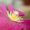 July 14, 2012<br /> Clematis Flower