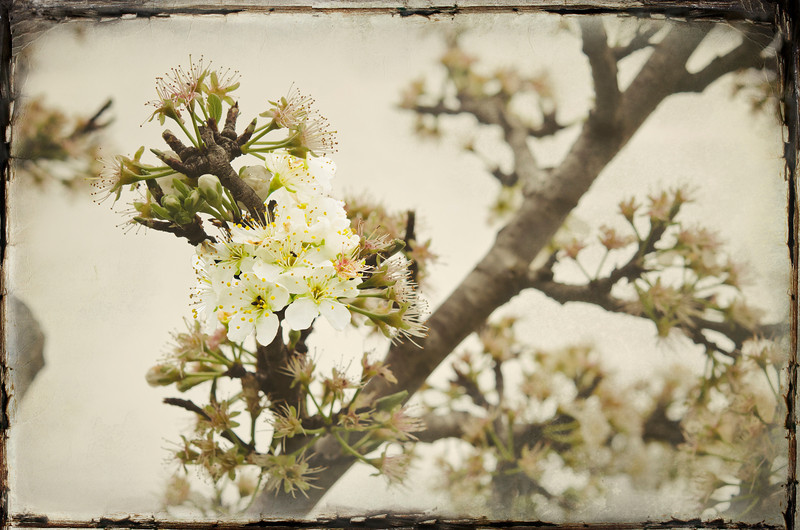 April 7, 2011<br /> Orchard blossoms.