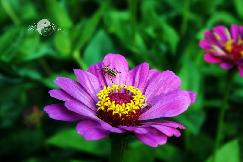 Summer is well underway, and so far my zinnias are outgrowing everything else. Still don't have any tomatoes which is really unusual for this time of year. Hopefully, the plants will continue to produce later into the Fall. Getting anxious for my first BLT of the year. 7.16.11