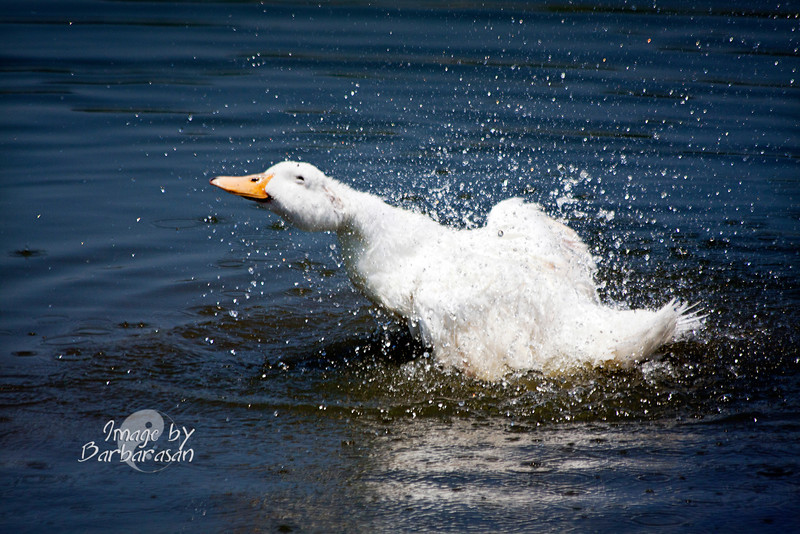 It was a hot one today and this blinding white duck was taking one helluva a bath. I shot about 300 frames and picked this shot because it makes me smile. The duck is really enjoying the splashing, the water, etc. and seems to be smiling with its eyes. I've seem that in kids before, but never an animal. Very refreshing on a very hot day. 6.30.11