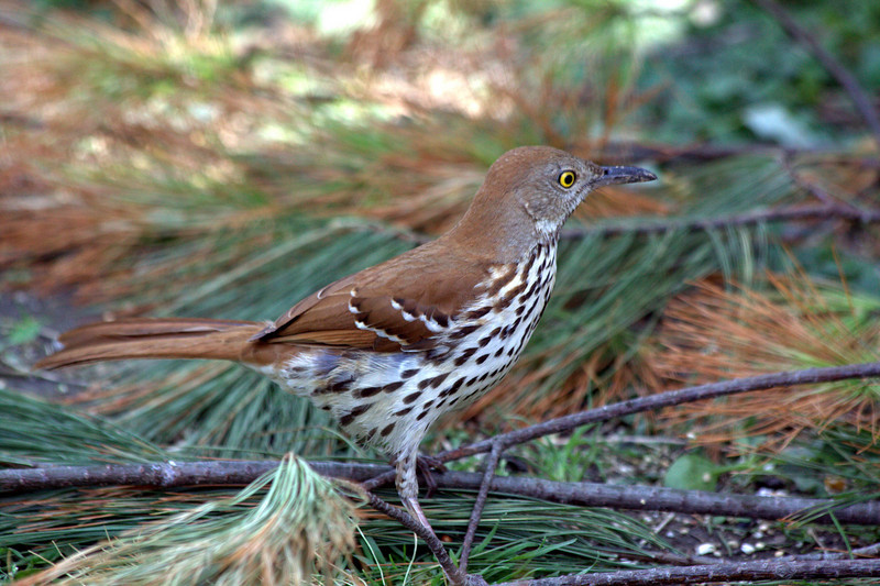 I was so pleased to get a new bird at my bird blind before leaving for Texas. I believe this is a brown thrasher. I have never seen one before. I have a pair of them. They are very cautious, but hungry which keeps them coming back. Hope they are still there when I get home. Happy Easter everyone. 4.23.11