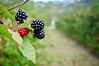 August 31, 2011<br /> Blackberries.<br /> I've been super busy with kids school and I got my first paid photography gig.  Took 122 head shots, using off camera flash, an umbrella and reflector.