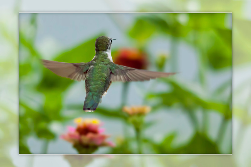 Trying to get as much practice shooting hummers as possible. The activity as slowed down quite a bit as fall approaches.