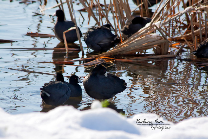 It started snowing Saturday afternoon. By 9:00 pm we had 4-1/2 inches here. It was those big juicing flakes, so first thing Sunday morning we headed towards water. Got this shot of American coots grooming at Horseshoe Lake. You can see the snow in the foreground. By 5:00 pm Sunday it had all melted away. What a seesaw weather pattern we are having this spring. 3.28.11