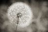June 23, 2011<br /> Dandelion?  I was hoping to post some painting with light shots, but I've caught the flu and only have enough energy to post a photo I've already processed.  Hopefully tomorrow.