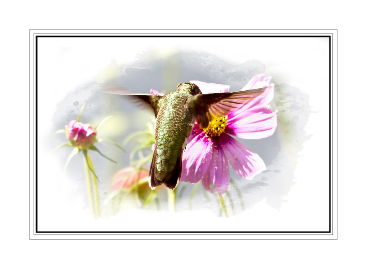 A hummer on a cosmo flower that had popped up among my zinnias. 9.21.12<br /> <br /> Have a great weekend everyone!!