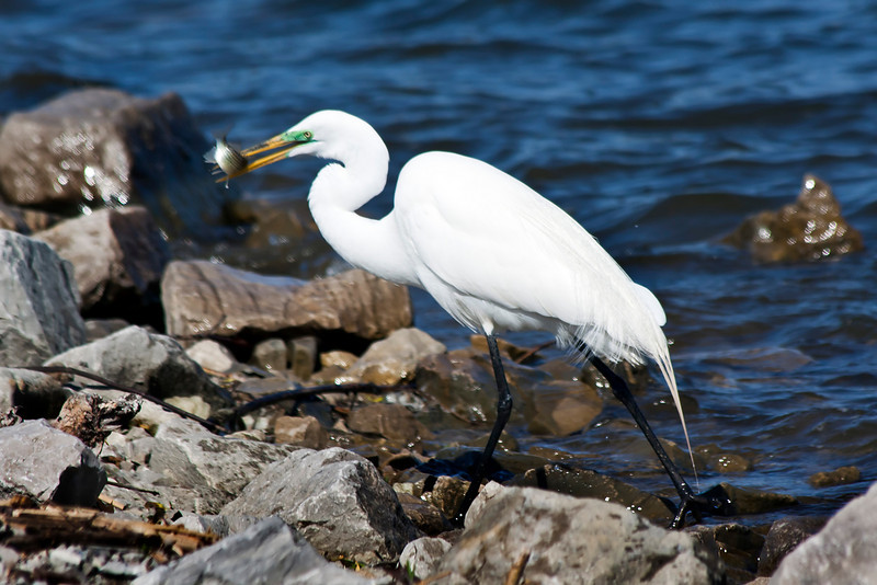 My focus is a little off on this, but it was by far the best shot of the day. This egret was catching fish right and left. He didn't seem to mind people as long as there was no movement. I shot this from the car. The water looks a little over saturated, but this is SOOC...4.12.11