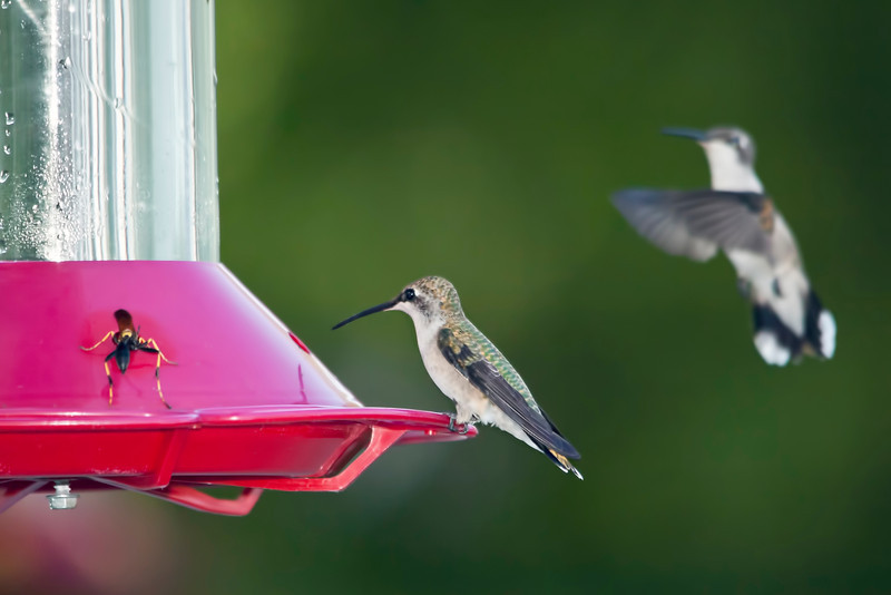 The hummingbird feeder has been a busy place lately. I have noticed a lot of wasps and bees stopping by for a drink lately. The afternoon I shot this it was like grand central station. 9.4.12