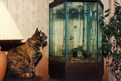 December 26, 2009.   Lady and the fish.   Scan from a 4x6 print (35 mm negative); circa 1994.   This cat of ours would sit trancelike for hours staring at the fish.    Periodically she would fall off the table as she leaned over the edge, trying to follow the fish as they swam around to the backside of the tank.