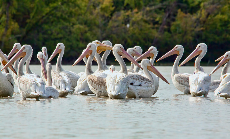 Look real close at the center of this picture. These white pelicans appear to me to be surrounding a baby pelican. You can just barely see his little head. I took this shot in my kayak just before I went aground in some pretty thick mud. Not a pretty site. 8.20.12