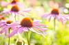 July 18, 2012<br /> Echinacea Flower