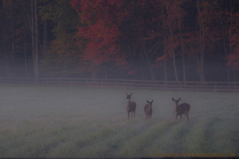 Autumn deer at Frosty Meadows, Clifton, Va.  <br /> Was driving to a favorite place to photograph raptors before sunrise when I came across these deer at Frosty Meadows in a dense fog.