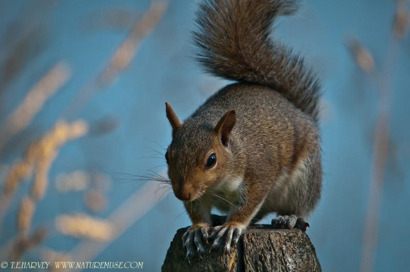 This squirrel favored me with a nice and long pose in nature's studio, at Mason Neck National Wildlife Refuge.