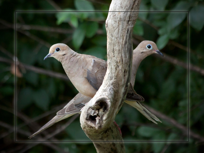 "These 2 mourning doves remind me of an old Wrigley gum commercial from what back...""double your pleasure, double your fun"" or something like that. They seemed to be posing for me. Even though I was in a blind I think they were making eye contact with me. Strange...Stay cool everyone. This heat is a killer. 8.3.11"