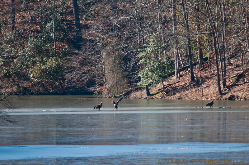 """Bald Eagles on Ice, an adult and two juveniles.<br /> Bald Eagles were having an Ice Party fishing on both sides of a bridge in Clifton, Va.  Over 15 eagles sighted in two hours.<br /> <br /> For the other eagle shots visit the gallery,  <a href=""""http://www.naturemuse.com/Birds/Eagles-On-Ice-Clifton"""">http://www.naturemuse.com/Birds/Eagles-On-Ice-Clifton</a>"""