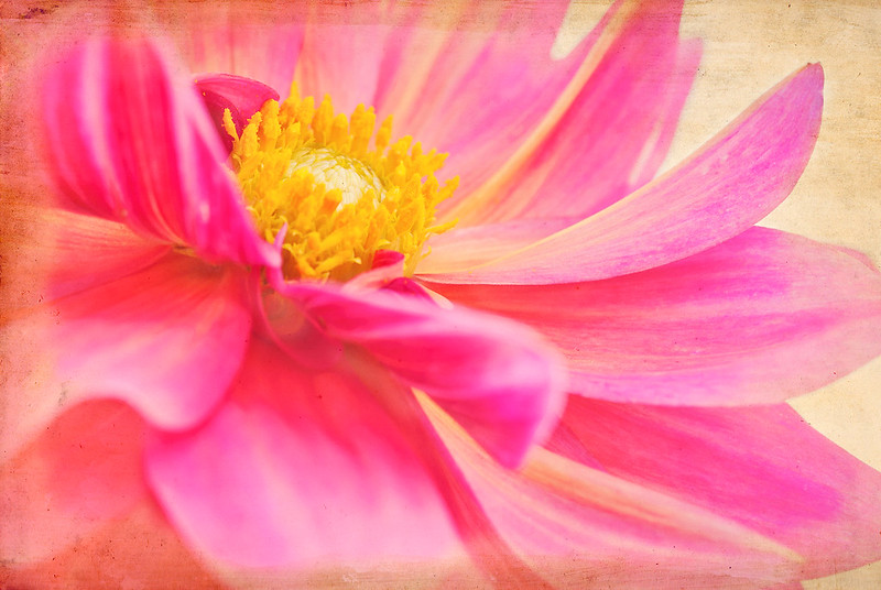 February 19, 2011<br /> Rainy day for me.  Processed some old photos, including this dahlia.