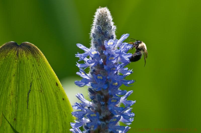 Flower & Bee, Kane's Creek at Mason Neck National Wildlife Refuge.