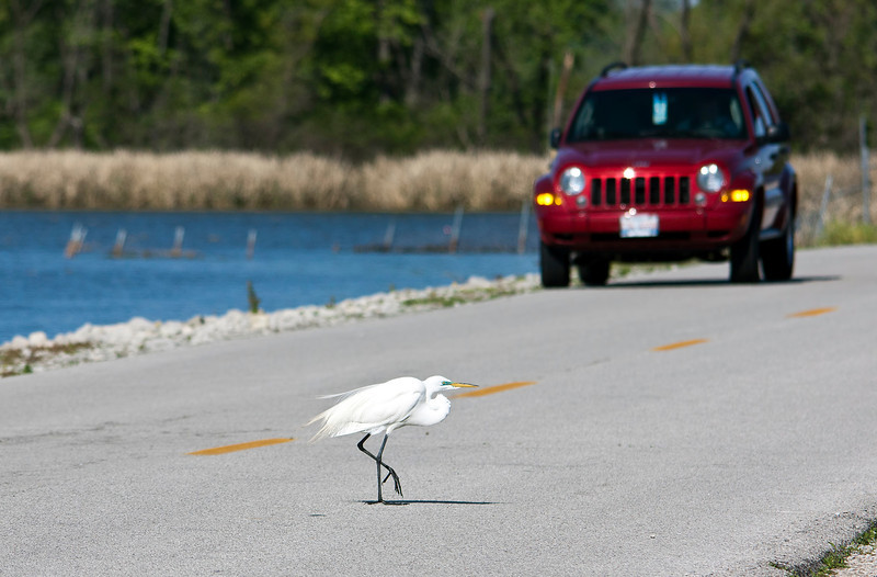 """I brake for birds."" Yes, indeed. There were white egrets and great blue herons every where this morning at Horseshoe Lake. The spring breeding season is in full swing. Despite the year-round population of both birds I have yet to see them raising any young. Maybe this year I'll get lucky."