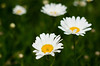June 29, 2011<br /> Daisies.