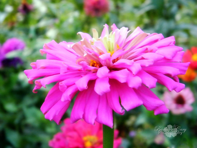 Zinnia from my garden last summer. Can't wait to get planting. 4.5.11