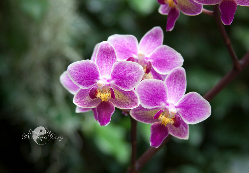 Randy and I finally made it to Missouri Botanical Gardens orchid exhibit today. All I can say is WOW. The theme this year was Mayan. I am still processing the 500 images that I took. This is a quickie SOTC. 3.7.11