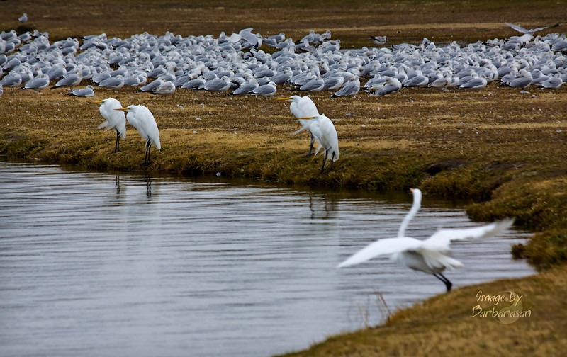 "This is my Christmas Day photo, think I will call it ""My white Christmas"". My gift from Santa--more great white egrets in 1 shot than I could ever have imaged...I'm beginning to think Texas is a birders paradise. Spending Christmas this year with my son in Dallas, not the warmest Christmas on record. All of us, the birds and myself would have preferred it be 80 and balmy instead of 37 with a strong north wind. Anyway, Merry Christmas and Happy Holidays to everyone."