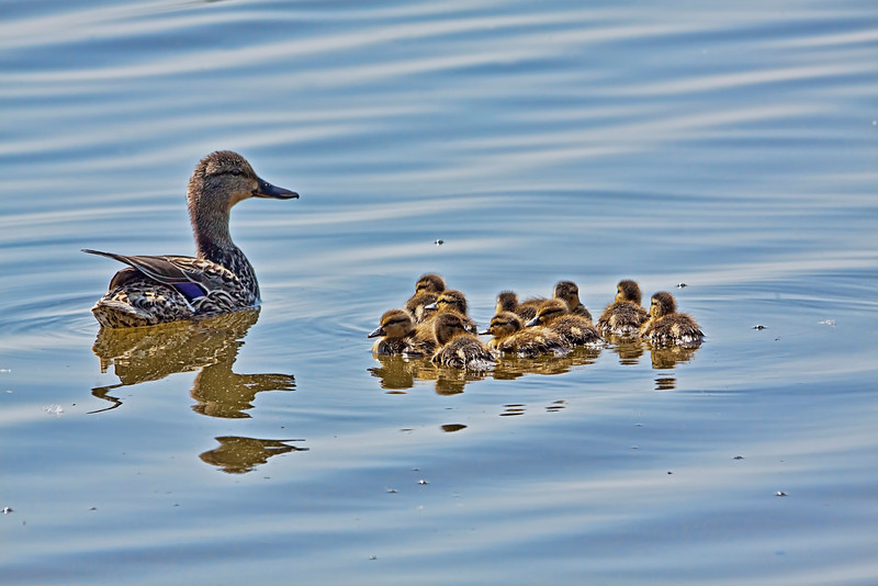 Wow, this mommy has to stay on her toes. She's got 10, yes, 10 baby ducklings. Taken at Horseshoe Lake State Park in Granite City, Illinois. 5.30.12