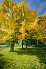 November 27, 2011<br /> Beautiful Ginko tree.  Wilder Ranch, Santa Cruz, California