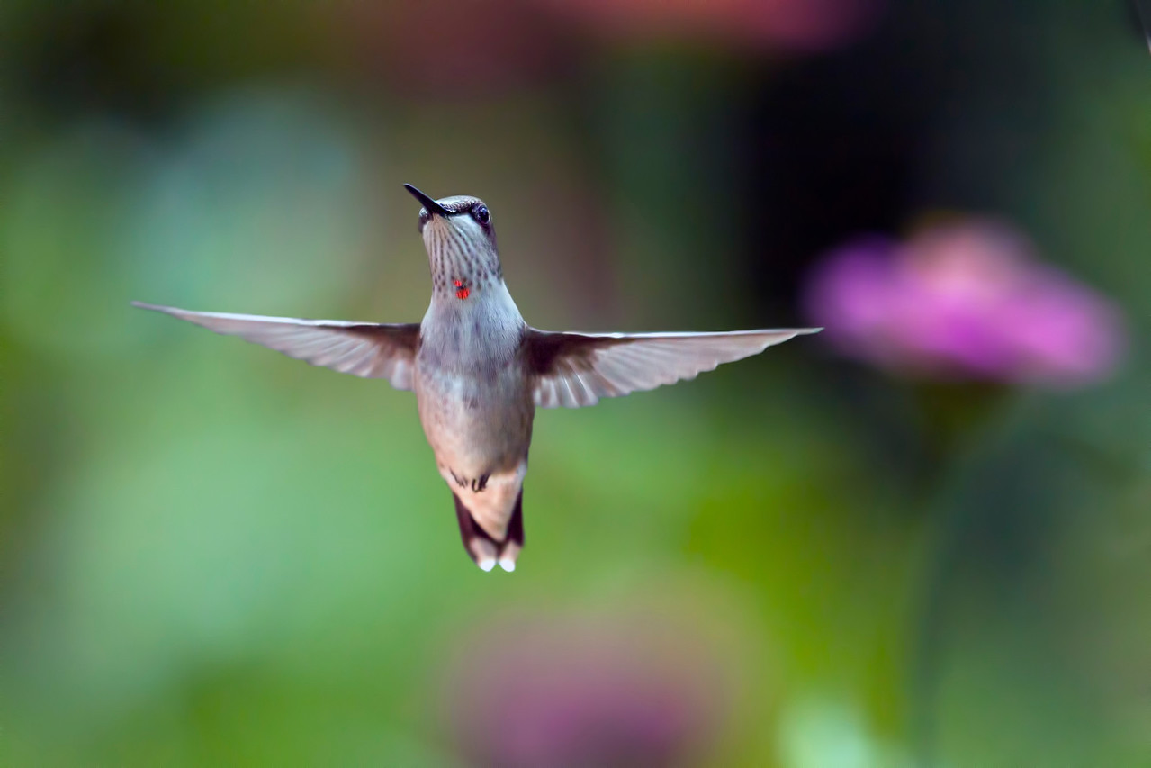 Yes, I'm still in the blind photographing hummingbirds. They are quite active in and out of my backyard. Unfortunately, the resident bully is still there chasing newcomers away, but I do get a good shot occasionally. 8.23.12