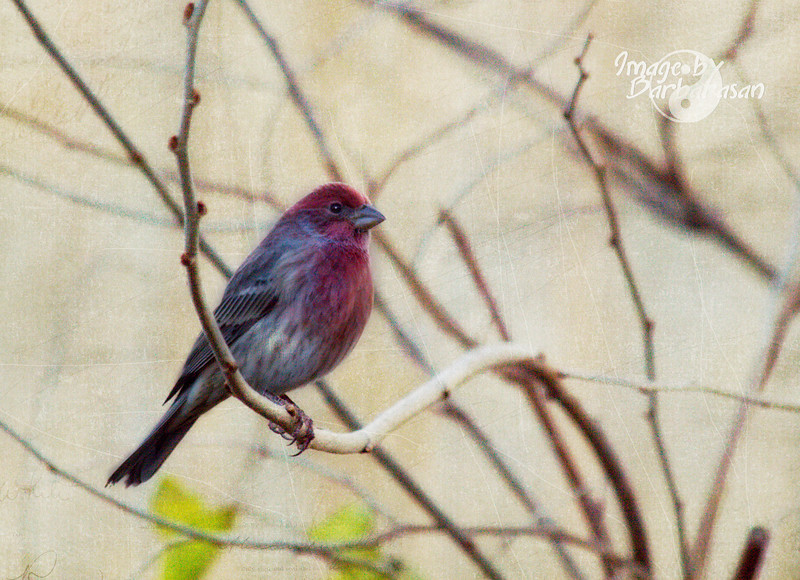 This finch landed 1 day for just a brief moment and blessed me with this image. I haven't seen it since.