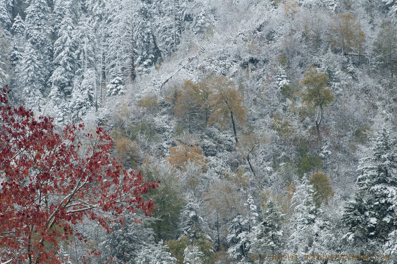 """Autumn Colors and Snow in the Smokies.  Crossing Newfound Gap from North Carolina to Tennessee on route 441, at an elevation over 5000 feet, provided another photo op.  With the snow and multiple colors, every turn in the road was a  delightful surprise.<br /> <br /> More photos of the Smokies are in the gallery,  <a href=""""http://www.naturemuse.com/Landscapes"""">http://www.naturemuse.com/Landscapes</a>"""