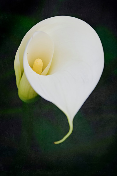 February 4, 2011<br /> Hard to believe I have Calla Lilies in my side yard.