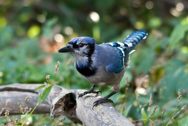 I'm late again. I just love photographing these birds, but not always easy to catch on film. 1.28.12