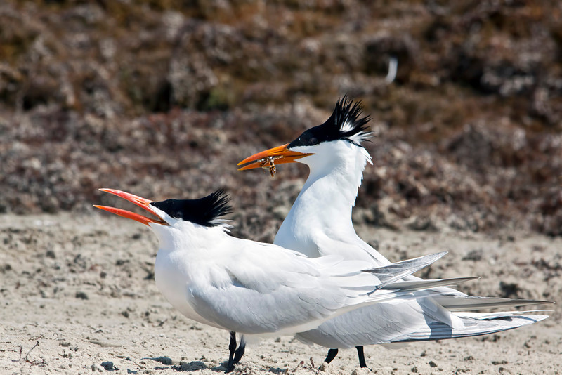 Taken on South Padre Island, Texas in mid April 2012.  I love these birds. They always seem to be smiling. 10.23.12