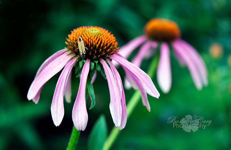 I know summer has arrived when the coneflowers start to bloom. They are one of my favorites! And, with the flowers come the bugs...a marriage made in heaven,at least for a photographer.  6.16.11