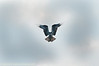 "The osprey is hovering like a helicopter getting ready for a ""food"" dive at Mason Neck Wildlife Refuge."