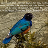 8/16/13<br /> Hildebrandt's Starling and Kibera Slum<br /> <br /> Got to run, have a blessed day!
