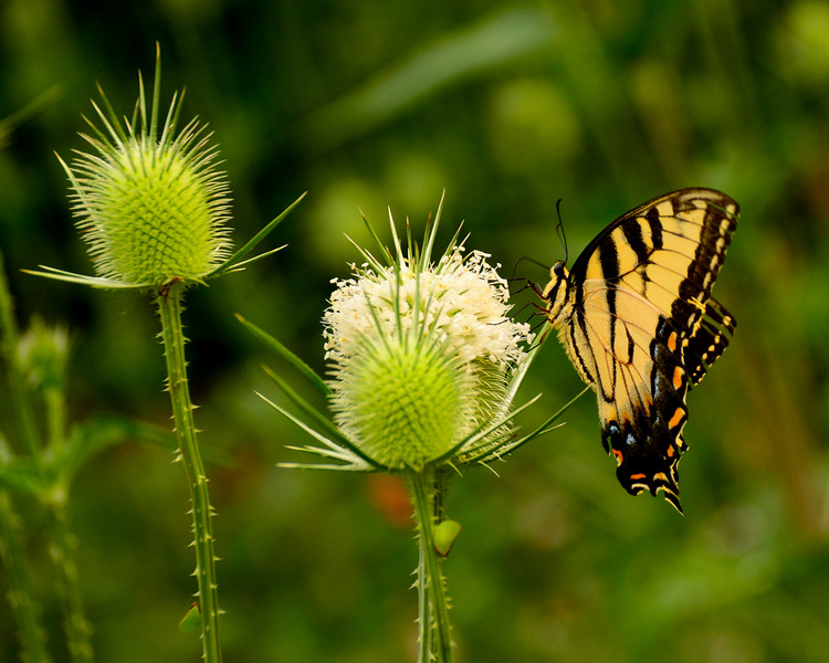 073016 Loch Raven Swallowtail Butterfly on White Thistle
