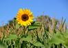 081515<br /> Westminster Sunflower Garden<br /> Manchester, MD