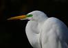 030516 Gatorland Great Egret